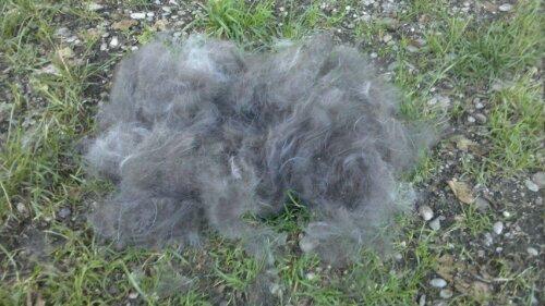 Runter mit der Unterwolle: Isarhunde nach dem Fellwechsel