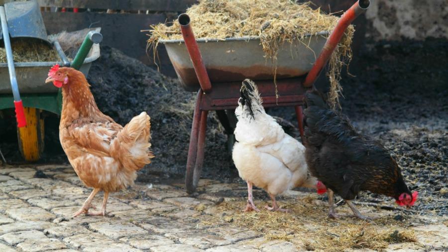 Hühner bei der Eselsmühle im Siebenmühlental. Foto: Fiffibene