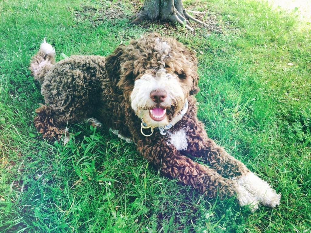 Spanischer Wasserhund Emmett von isartau