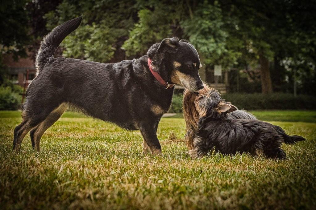 Hundebegegnungen sind in Münsteraner Parks an der Tagesordnung. Foto: Yorkshire Terrier Blog