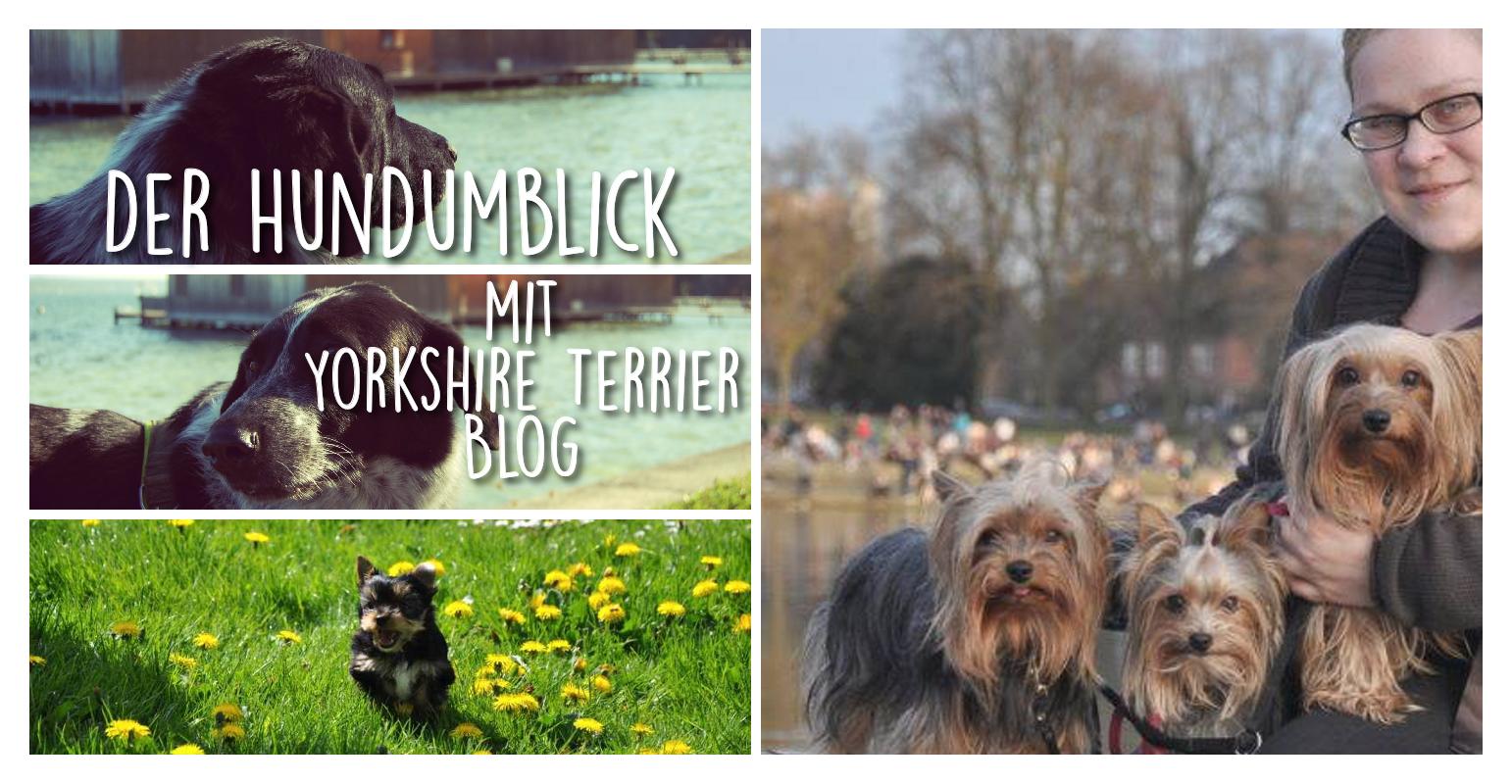 Der Hundumblick: 6 Fragen an Kellie vom Yorkshire Terrier Blog