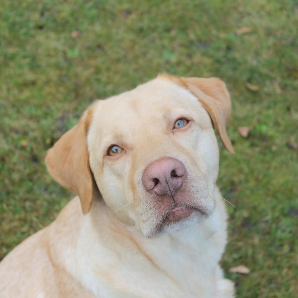 Labrador Smokie. Foto: Jette Hauschild