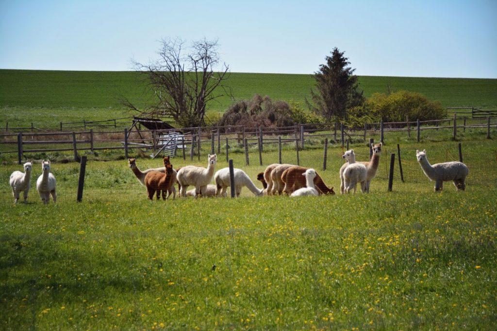 Die Isartal-Alpakas